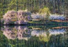 Cerisiers sur l'étang Photos stock