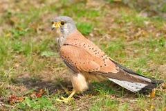 Cernícalo común (tinnunculus de Falco) Foto de archivo