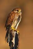 Cernícalo común, tinnunculus de Falco, pequeñas aves rapaces que se sientan en el tronco de árbol, Alemania Pájaros en el hábitat Fotografía de archivo libre de regalías