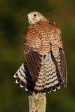 Cernícalo común, tinnunculus de Falco, pequeñas aves rapaces que se sientan en el tronco de árbol, Finlandia Fotografía de archivo