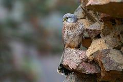 Cernícalo común, tinnunculus de Falco, pequeñas aves rapaces que se sientan en la pared de piedra en el castillo viejo, Alemania Fotos de archivo