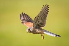 Cernícalo en vuelo Fotografía de archivo libre de regalías