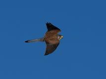 Cernícalo que mira para el tinnunculus de Falco del ratón Foto de archivo