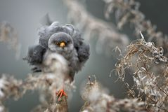 cernícalo Rojo-con base - vespertinus de Falco Fotos de archivo libres de regalías