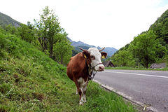 Cerna Mountains valley welcome cow. Romania Royalty Free Stock Image