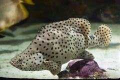 Cernia a dorso d'asino (cromileptes altivelis) Fotografia Stock Libera da Diritti