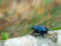 Cernymi beetle Stock Images