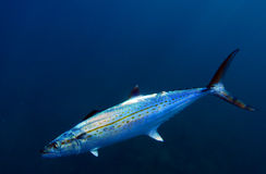 Cero mackerel fish Royalty Free Stock Images