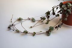 Ceropegia woodii succulent plant vines stock photography