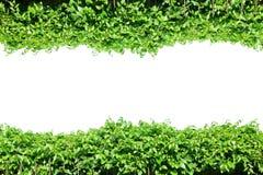 Cerque as folhas verdes, beira do quadro da planta, jardim da parede das videiras, árvore isolada Fotografia de Stock Royalty Free