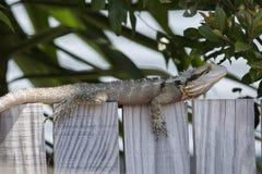 Cerque el lagarto de Queensland que se sienta fotos de archivo libres de regalías