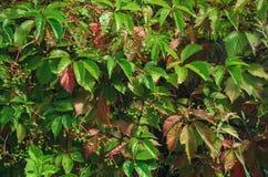cerque hojas del verde Fotografía de archivo libre de regalías