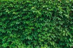 cerque hojas del verde Imágenes de archivo libres de regalías