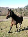 Cerque o cavalo completo-blooded casei do de quando paste a grama Fotografia de Stock Royalty Free