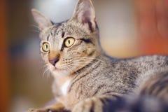 Cerrado encima de colores grises y blancos tailandeses del gato duerma en piso fotografía de archivo libre de regalías