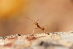 Cerrado encima de: Hormiga roja que trabaja en árbol en el jardín Imágenes de archivo libres de regalías