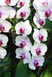 Cerrado encima de la flor blanca de la orquídea Imágenes de archivo libres de regalías