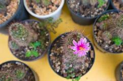 Cerrado encima de la flor rosada del cactus Foto de archivo libre de regalías
