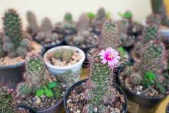 Cerrado encima de la flor rosada del cactus Fotos de archivo