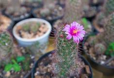Cerrado encima de la flor rosada del cactus Fotografía de archivo