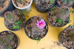 Cerrado encima de la flor rosada del cactus Imagenes de archivo
