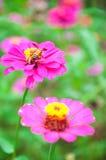 Cerrado encima de la flor y de la abeja púrpuras en fondo verde Foto de archivo
