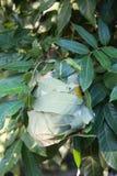 Cerrado encima de la jerarquía roja de la hormiga en un árbol fotos de archivo