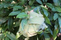 Cerrado encima de la jerarquía roja de la hormiga en un árbol fotografía de archivo libre de regalías