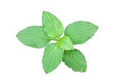 Cerrado encima de las hojas verdes aisladas en blanco foto de archivo libre de regalías