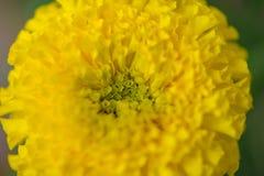 Cerrado encima de maravilla florece en el jardín de Tailandia Imágenes de archivo libres de regalías