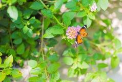 Cerrado encima de mariposa en la flor Imagenes de archivo