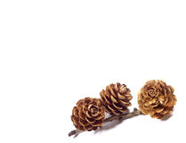 Cerrado encima de tres conos secos naturales del pino de la forma de la flor con la rama aislada en el fondo blanco, con el espac Imagen de archivo