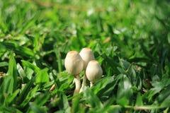 Cerrado encima de tres pequeñas setas blancas salvajes que crecen junto en hierba verde vibrante en la luz del sol Imágenes de archivo libres de regalías