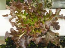 Cerrado encima de verdura hidropónica Imagen de archivo libre de regalías
