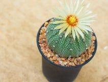 Cerrado encima del cactus de los asterias de Astrophytum con la flor en el pote Imagenes de archivo