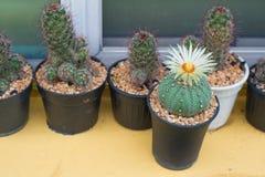 Cerrado encima del cactus de los asterias de Astrophytum con la flor en el pote Imágenes de archivo libres de regalías