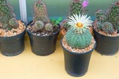 Cerrado encima del cactus de los asterias de Astrophytum con la flor en el pote Imagen de archivo
