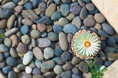 Cerrado encima del cactus de los asterias de Astrophytum con la flor en el pote Fotos de archivo libres de regalías