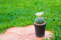 Cerrado encima del cactus de los asterias de Astrophytum con la flor en el pote Foto de archivo libre de regalías