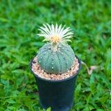 Cerrado encima del cactus de los asterias de Astrophytum con la flor en pote en backgrou de la hierba Foto de archivo