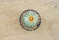 Cerrado encima del cactus en maceta Foto de archivo