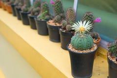 Cerrado encima del cactus en maceta Imágenes de archivo libres de regalías