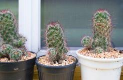 Cerrado encima del cactus en maceta Fotografía de archivo libre de regalías