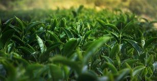 Cerrado encima del top de hojas de té verdes con la luz del sol y el fondo borroso El té verde es una de muchas plantas que tenga fotos de archivo libres de regalías