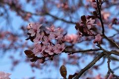 Cerrado para arriba de la flor de cerezo en parque japon?s imagenes de archivo