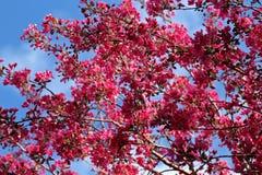 Cerrado para arriba de la flor de cerezo Sakura en fondo del cielo azul imagenes de archivo