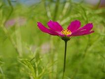 Cerrado-para arriba de la flor magenta Imágenes de archivo libres de regalías