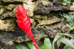 Cerrado para arriba de la flor roja de la bromelia Bromelia roja con el fondo de piedra en el jard?n foto de archivo libre de regalías