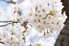 Cerrado para arriba de la flor Sakura ( cherry) flor en fondo del cielo azul imágenes de archivo libres de regalías