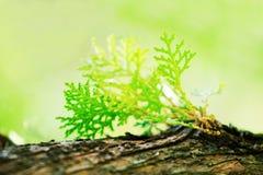 Cerrado para arriba de la hoja del pino en árbol Foto de archivo libre de regalías
